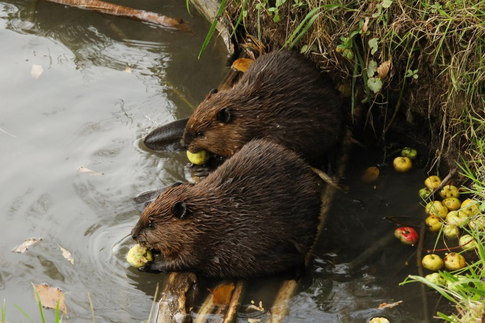 A family of beavers, two adults and their three kits, are living on the Holland River, just south of Fairy Lake. Two young beavers enjoy a meal of apples.  Greg King for NewmarketToday