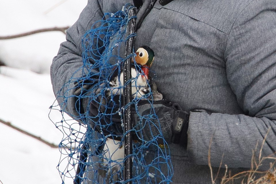 Eddie is caught.  Greg King for NewmarketToday