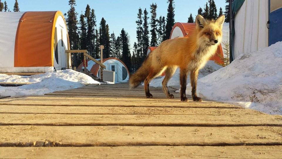 Noront esker camp fox