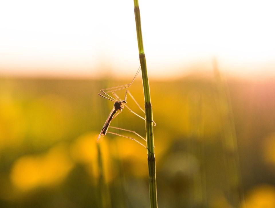 Alex Milne mosquito