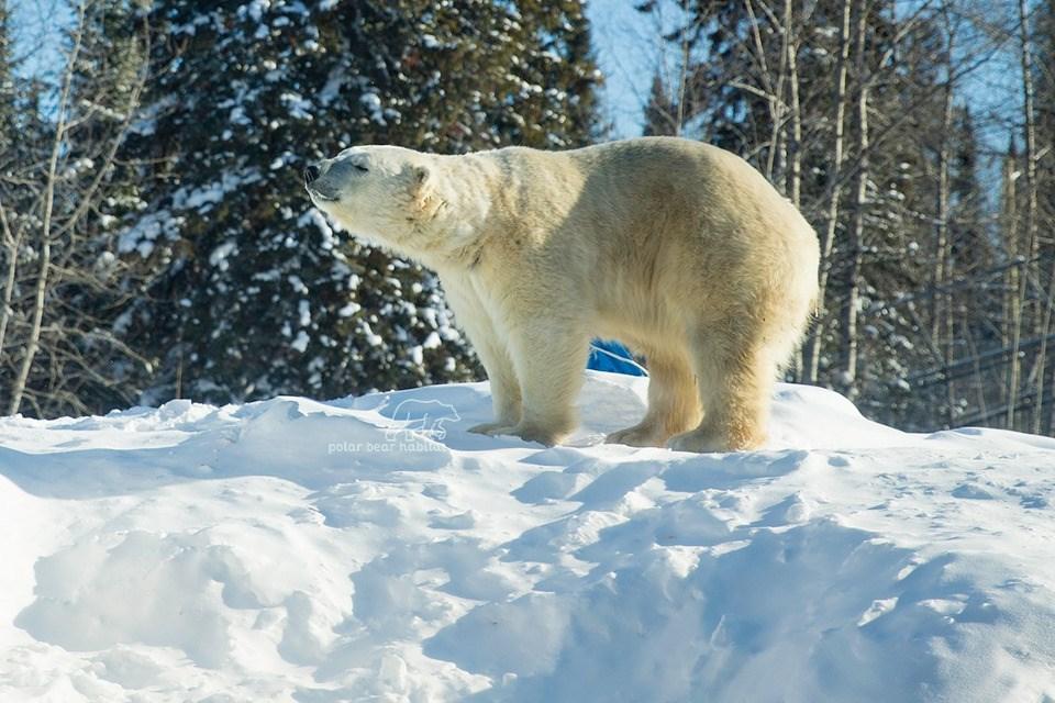 cochrane_polar_bear