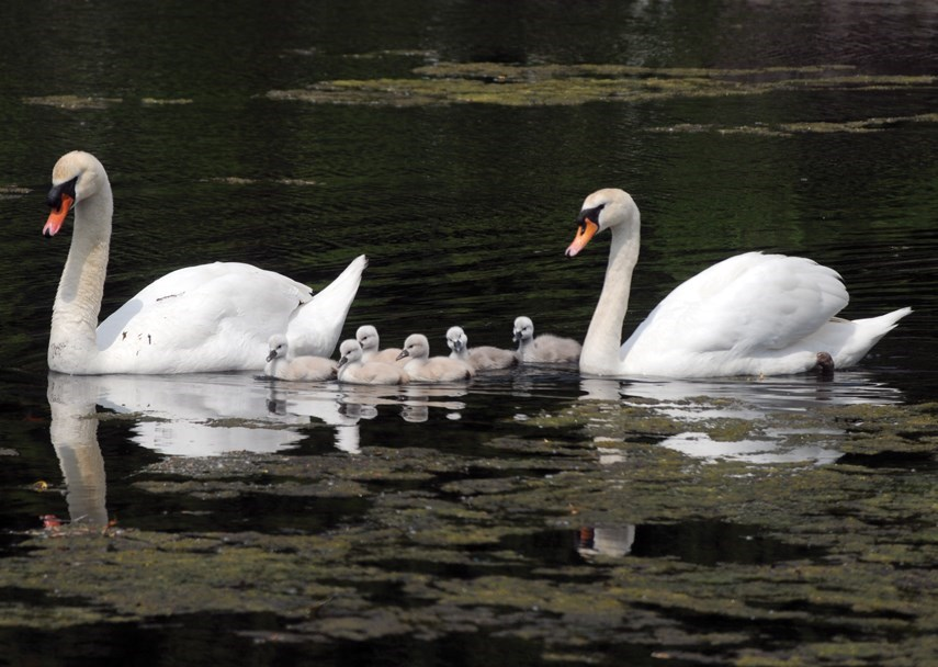 West Vancouver's Ambleside mute swans swim with their cygnets in 2018. One half of the breeding pair has since died and the other one is searching for its mate.