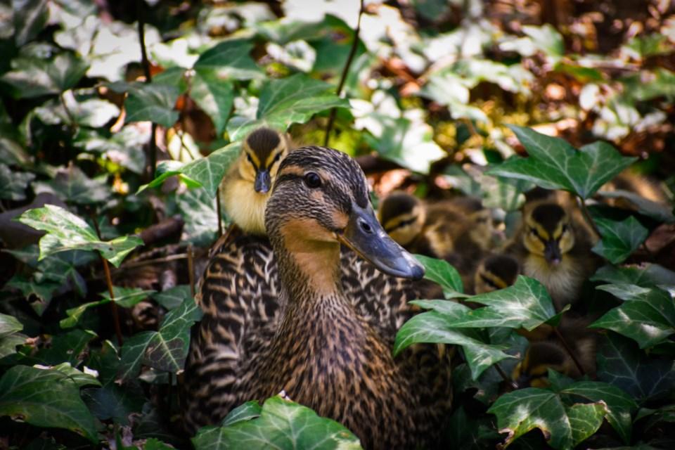 Ambleside ducks 1