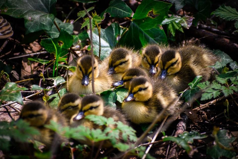Ambleside ducks 2