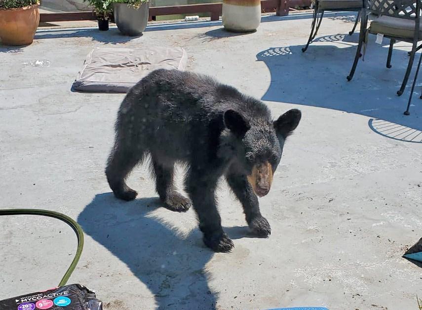Black bear that enetered home