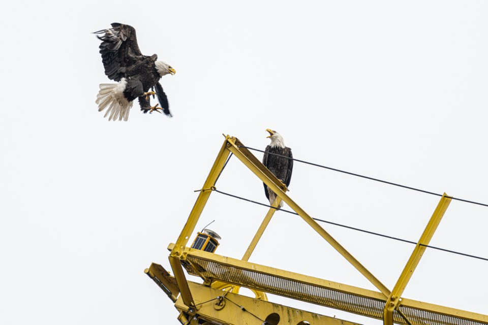 A pair of eagles land on The Shipyards Crane in North Vancouver on Feb. 15, 2021.