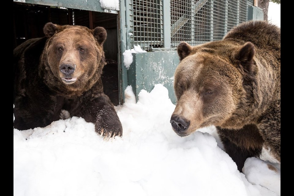 Grouse Mountain Grizzly bears Grinder and Coola after just coming out of winter dormancy in April 2020.