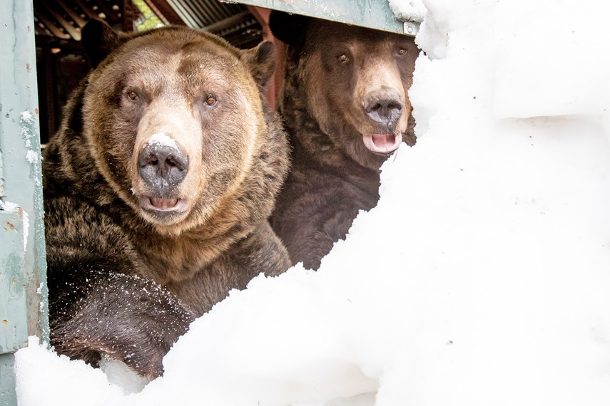 Grinder and Coola, the two resident grizzly bears at the Grouse Mountain Refuge for Endangered Wildlife, emerge from their 20th hibernation period on April 29th, 2021 at Grouse Mountain, North Vancouver, BC.