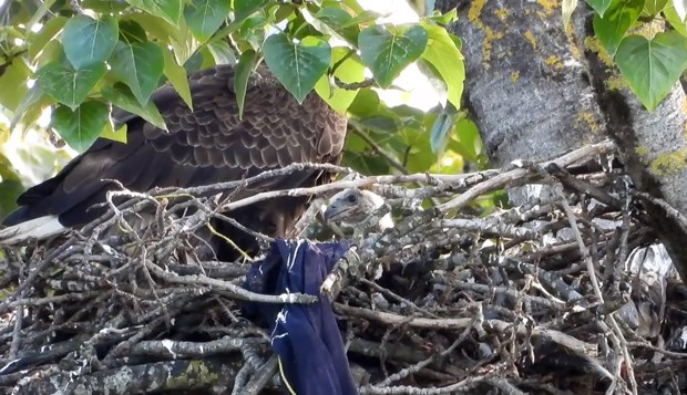 Mosquito Creek eagles web