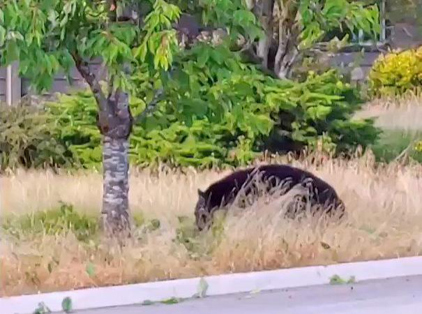 Blacks bears in tree(1)