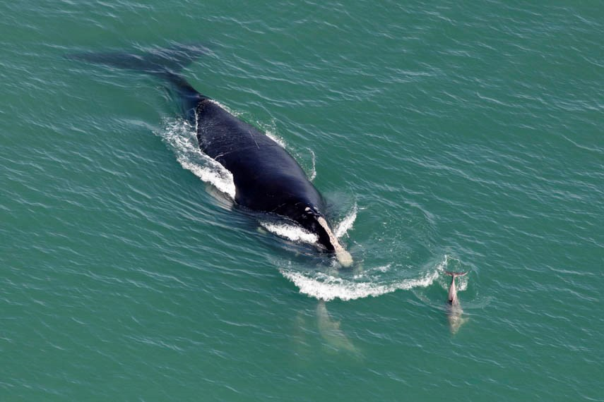 North Atlantic right whale getty web