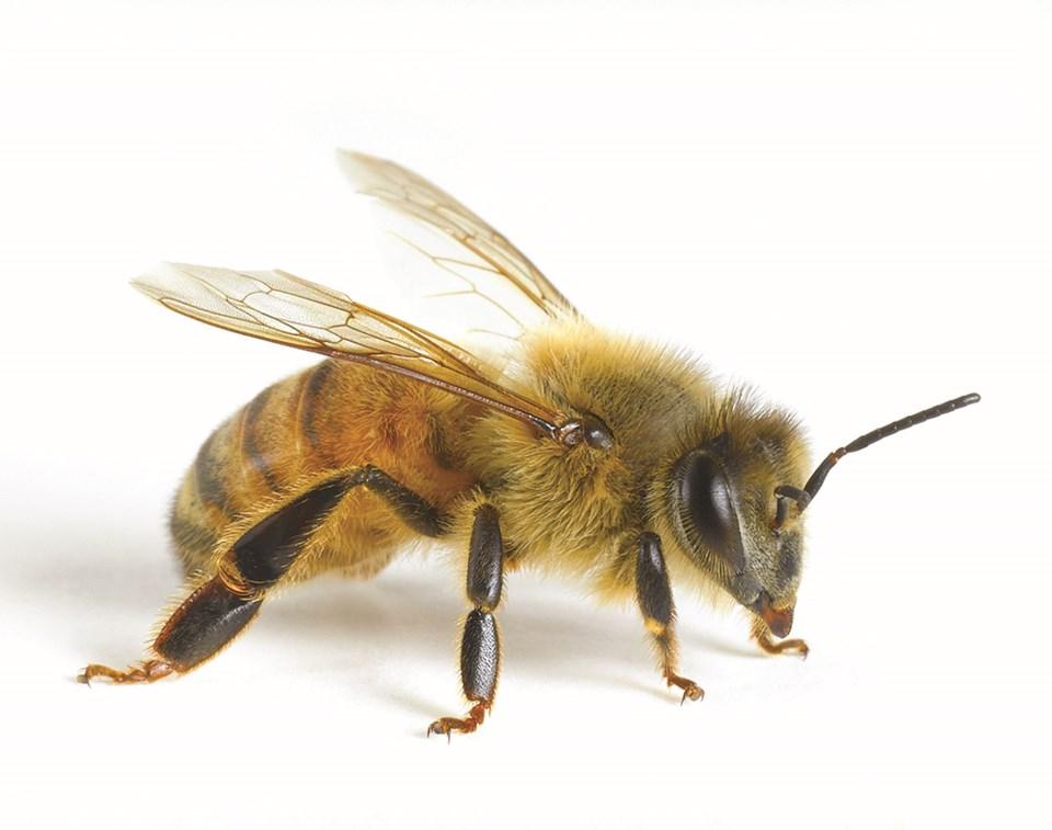 Bee - GettyImages-200415242-001_4C