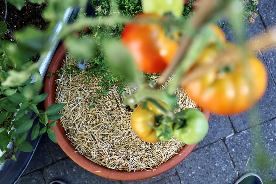 Mulched potted tomato: Clean straw mulch in pots reduces watering by two-thirds.