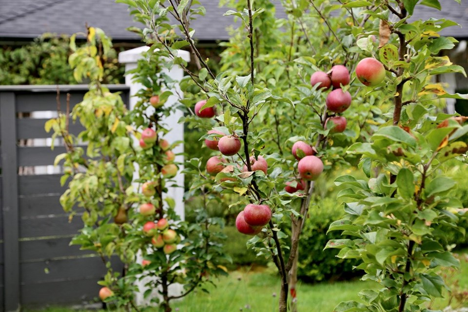 Planted in pots or in the ground, dwarf fruit trees are human-scale.