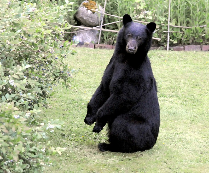 Black Bear eating blueberries Mike