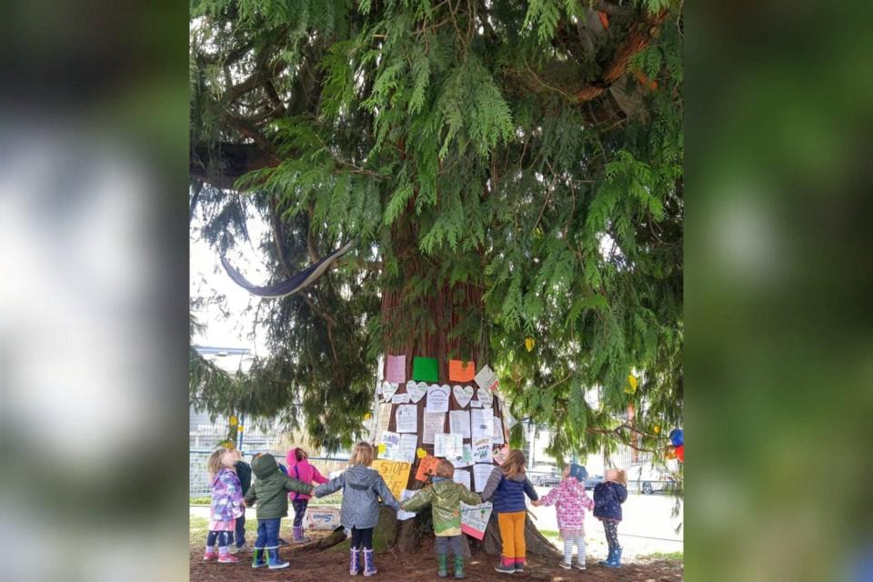 cedar tree CNV