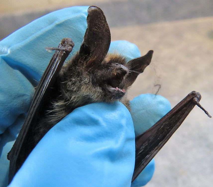 Dead bat_ CathyKootWEB