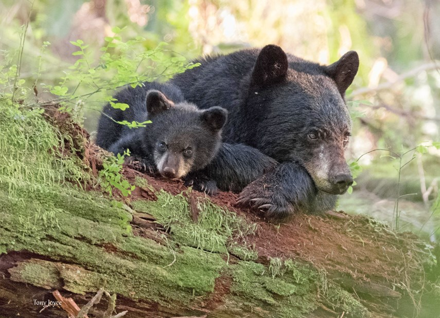 Mother bear alliance (photo Tony Joyce)