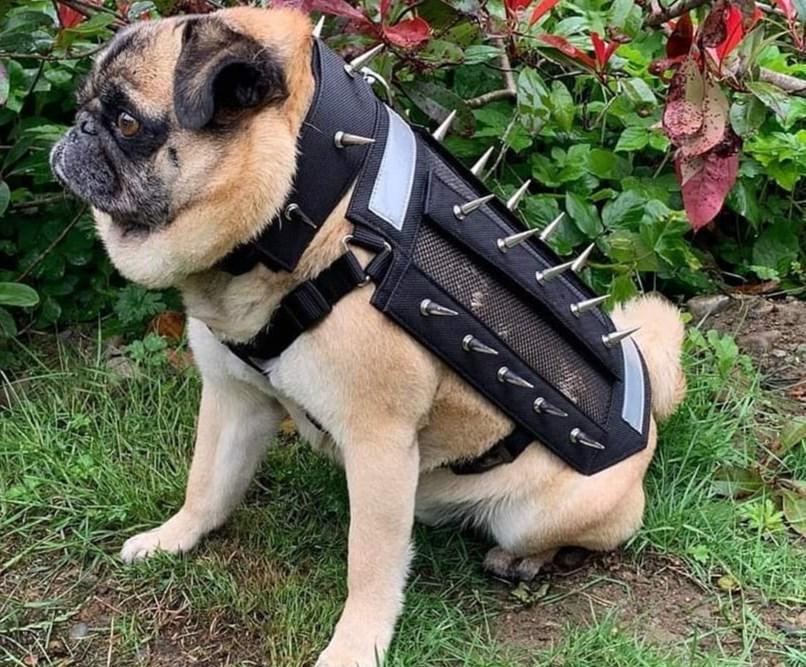 Spike dog (@predatorbwear via Instagram)