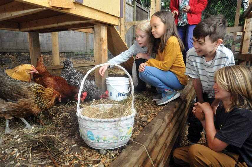 Grade 3 students at Vancouver Waldorf School's elementary campus in North Vancouver tend to the chickens which arrived on school grounds on June 3, 2021.