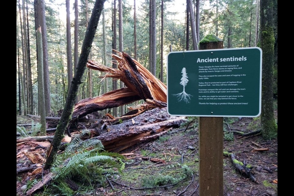 Capilano River Regional Park in North Vancouver has said goodbye to one of its last standing giant Douglas fir trees.  The tree fell due to laminated root rot on Dec. 8, 2020.