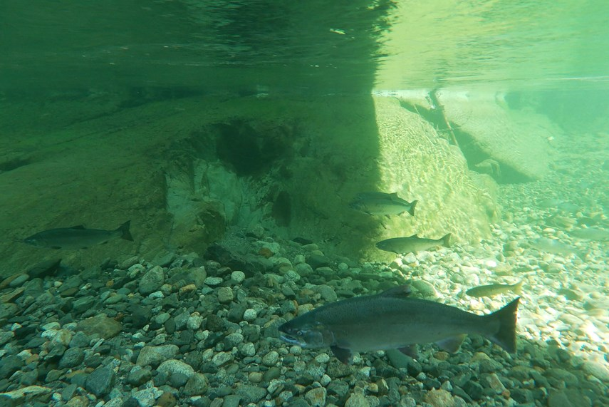 Seymour River Coho (provided by SSS) web