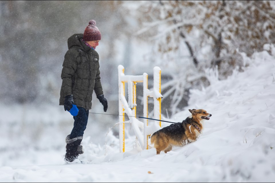 Mocha the Welsh corgi walks with her human Debbie Hansen in the snow near the Sheep River on Oct. 8. (BRENT CALVER/Western Wheel)