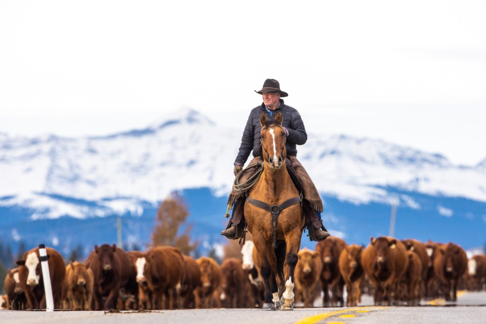 Rancher John Thomson drives his cattle east up Highway 546 out of Kananaskis Country and into Foothills County, Alberta on October 15, 2019. (Brent Calver/Western Wheel)