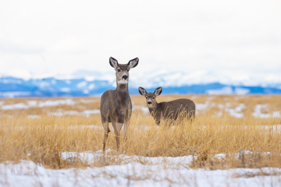 Deer Westland St 0704 BWC
