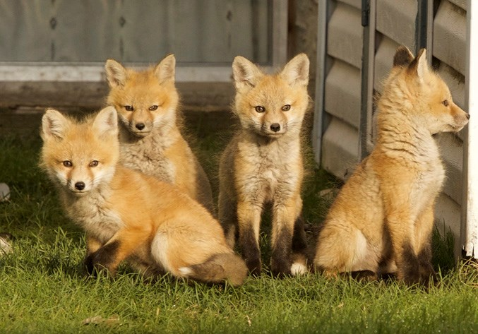 Foxes Make Okotoks Backyard Home Okotokstoday Ca