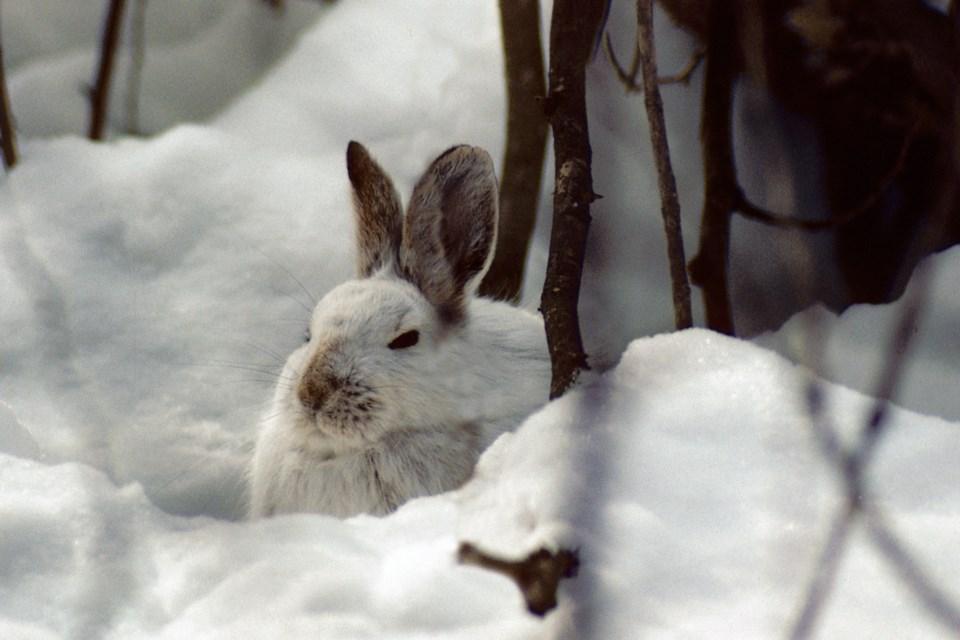 2020-12-19 snowshoe hare
