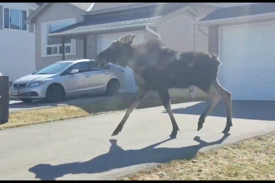 This moose, which has been wandering all over Orillia since Saturday, was spotted in the Park Street area this morning. Orillia OPP photo