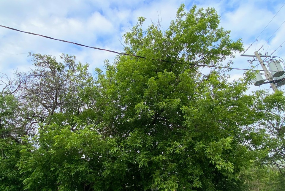 2021-05-31 Orillia trees 2