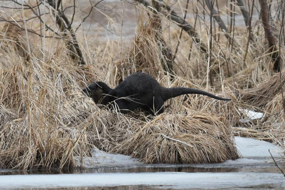 20190328_Otter_Talbot Creek (5)