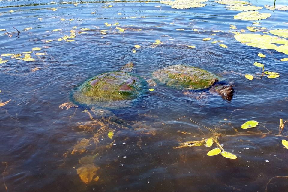 20210617_Tiny Marsh_Snapping Turtles (Hawke)