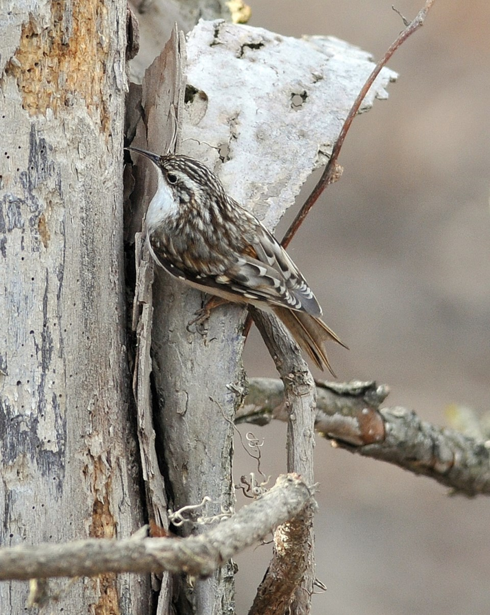 Brown Creeper 8709