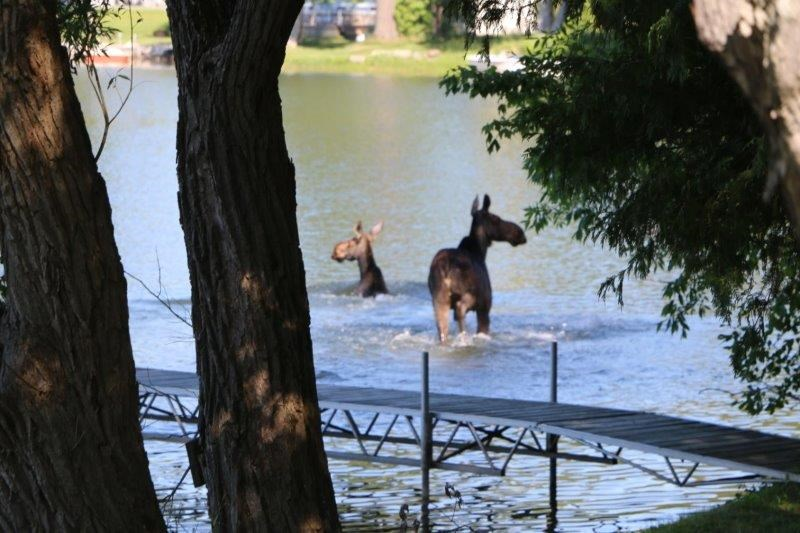 Two moose wandered down Cox Drive and made their way into Lake St. George this morning for a swim.
