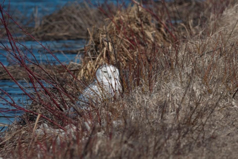 Tiny Marsh_Snowy Owl (1)