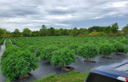 opp cannabis bust oct 2020