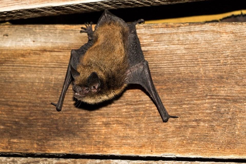 bat count bc - The Little Brown Myotis - B Paterson