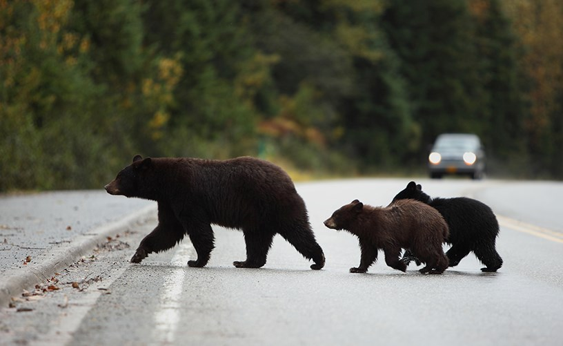 black bears fed kadenwood whistler charges cos GettyImages-146813677