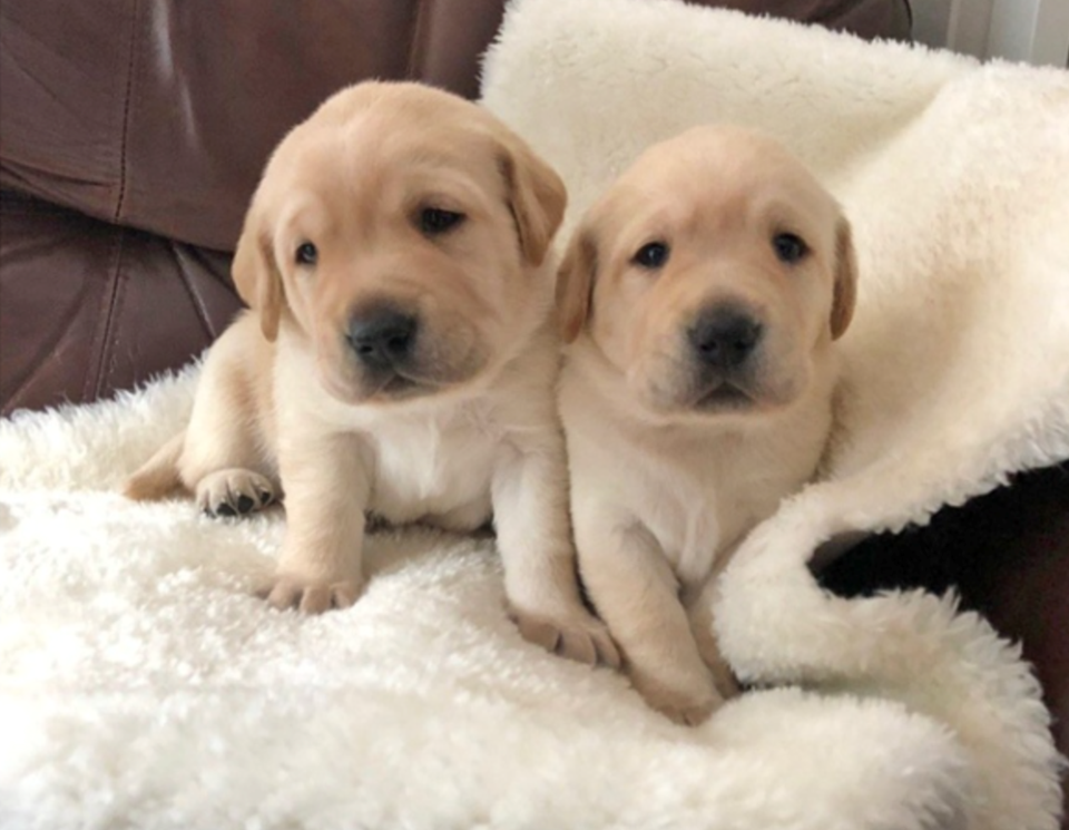 Guide dog pups named Bonnie and Henry in honour of B.C.'s top doctor Screen Shot 2020-09-30 at 2.22.04 PM