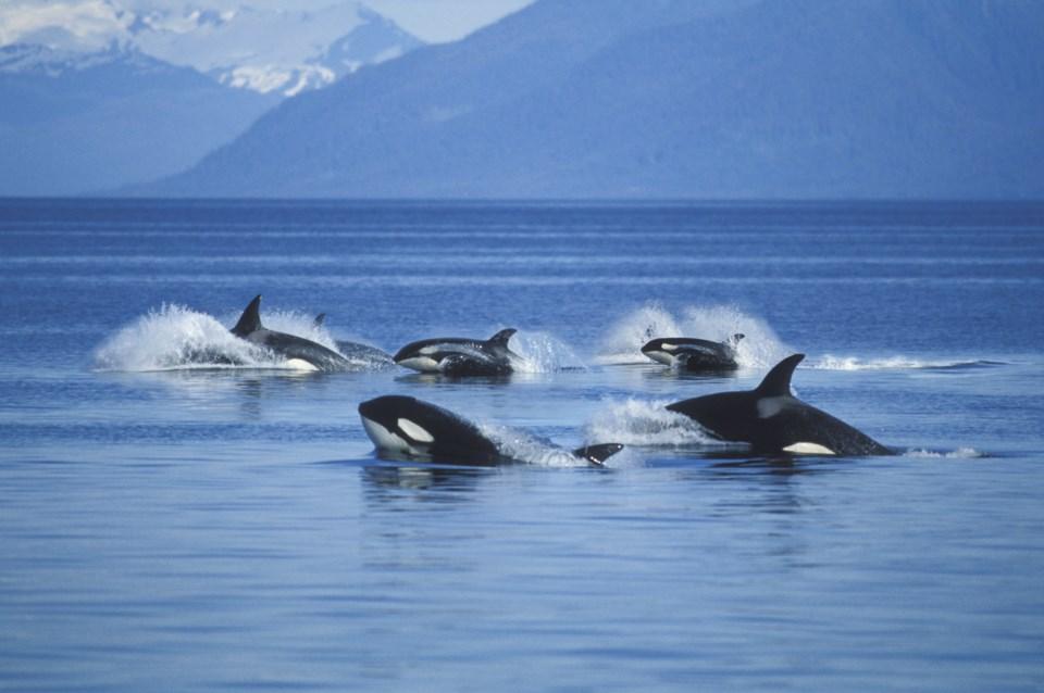 pod of orcas - killer whales