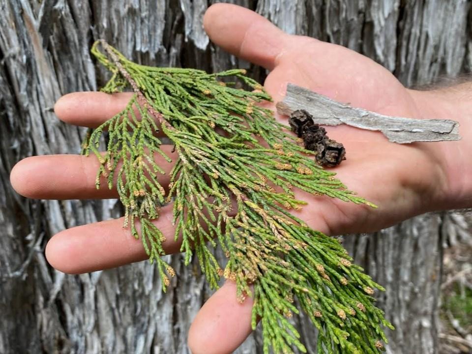 n-1Naturespeak use this one Yellow cedars by Sabrina Hinitz 28.20 IMG_4381