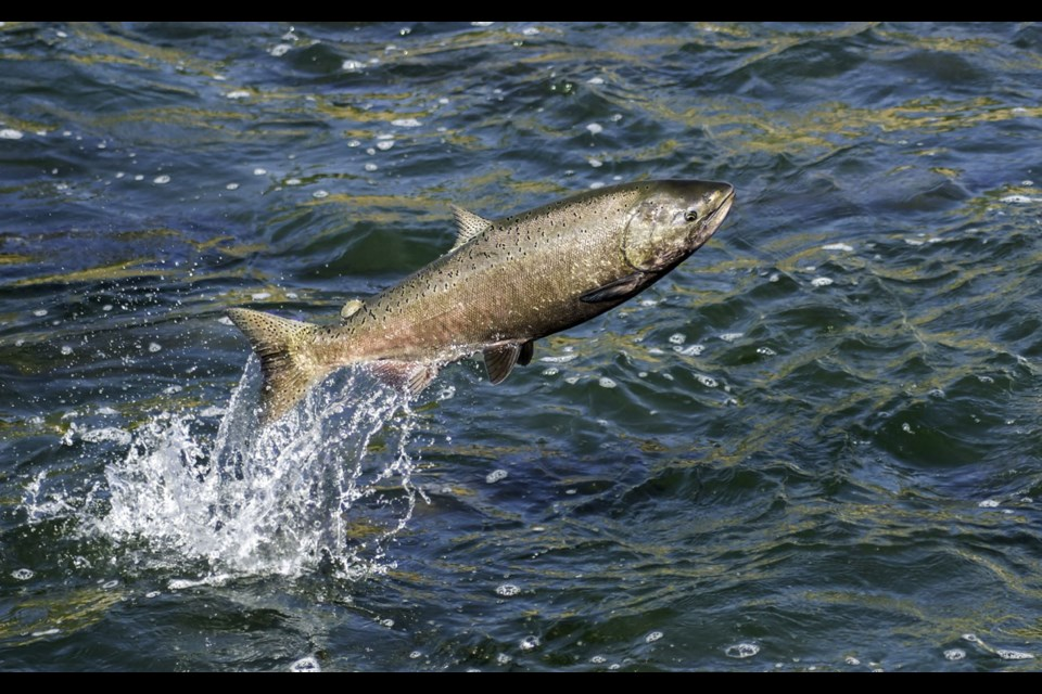 Local fishers are critical of the federal government's regulations regarding Chinook salmon stocks.