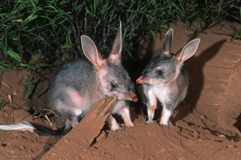O-Science Matters bilby PHOTO BY MARTIN HARVEY GETTY IMAGES