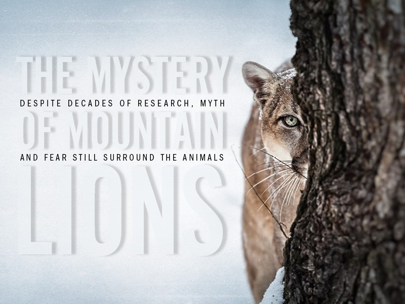 The Mystery of Mountain Lions Despite decades of research, myth and fear still surround the animals By Sarah Gilman
