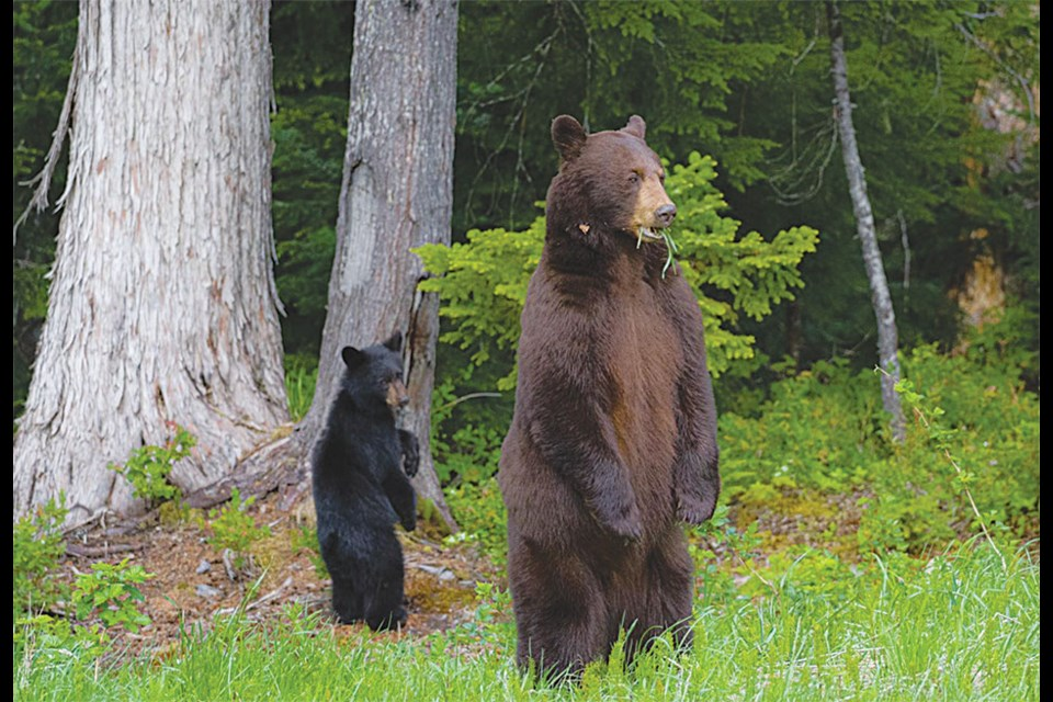 BEAR AWARE A pair of local black bears masquerading as meerkats were snapped in a state of grass-fueled disbelief in the Callaghan Valley on Friday, June 11.