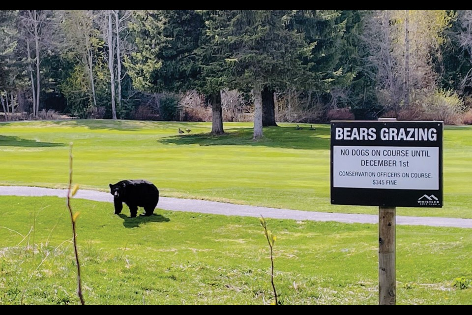 BOGEY BEAR A black bear headed out for a sunny stroll along the Whistler Golf Course on May 2.