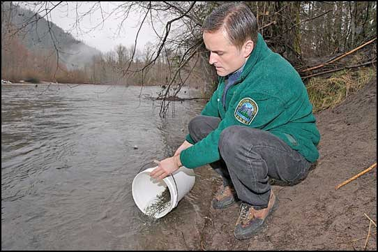 Barry Penner, provincial environment minister, helps release federal hatchery pink salmon fry into Cheakamus River. Photo by Maureen Provencal